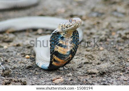 Threatening Mozambican Spitting Cobra. Shallow D.O.F.