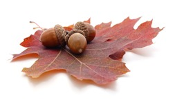 Three acorns on a brown leaf isolated on a white background.
