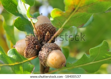 Three acorns on fresh green twig