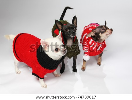 three adorable chihuahua dogs wearing wintertime outfits