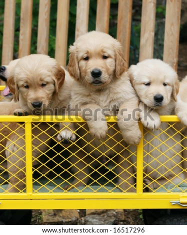three adorable golden retriever puppies in yellow cart