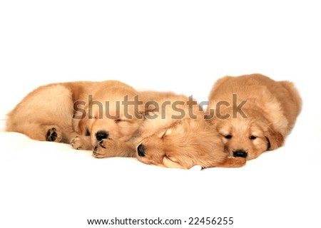 brindle chow retrievers wallpaper to download brindle chow retrievers ...