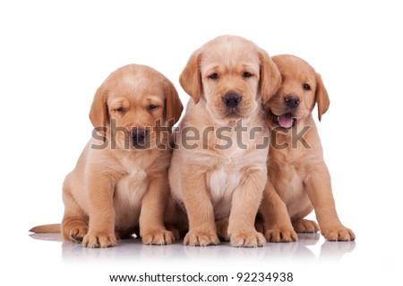 three adorable little labrador retriever puppies  sitting on white background - stock photo