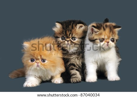 Three adorable little persian kittens on gray background.