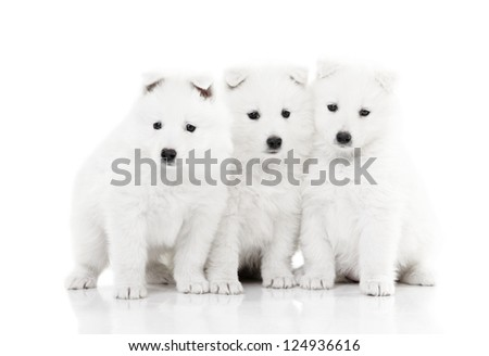 Three adorable Samoyed puppies isolated on white