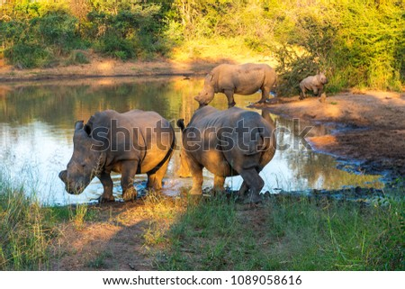 Three adult and a youngster white rhinoceros or square - lipped rhinoceros (Ceratotherium simum) inside the Entabeni Safari Game Reserve at sunset, Limpopo Province, South Africa.