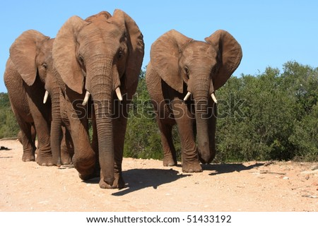 Three adult elephants mock charging the photographer in South Africa