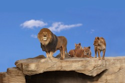 Three adult lions on a cliff rock with blue sky in background. One male lion and one lioness standing and two lioness lying.