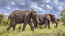 Three African Elephants (Loxodonta africana) walking in savanna of Kruger national park in South Africa