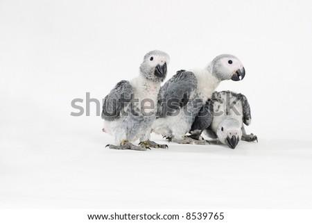 three african grey babies