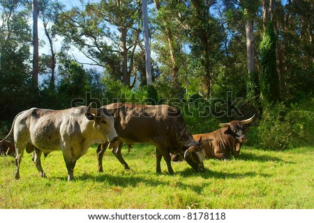 Three African Nguni bulls on pasture. Shot in Vergelegen estate area, Hottentots Holland Mountains, near Somerset West, Western Cape, South Africa.