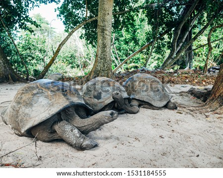 Three Aldabra Giant Tortoise are resting. In curieuse seychelles Stock photo ©