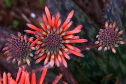 Three aloe vera flowers, also known as cactus flower. Beautiful and exotic plant flowers, top view. Tubular aloe flowers in yellow, orange, magenta, pink and red colors.