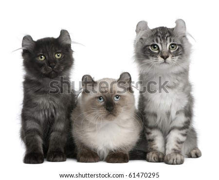 Three American Curl Kittens, 3 months old, sitting in front of white background