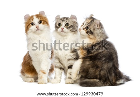Three American Curl kittens, 3 months old, sitting, looking up and looking at the camera in front of white background