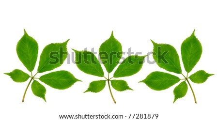 Three American Ginseng plants (Panax quinquefolius) on a white background.