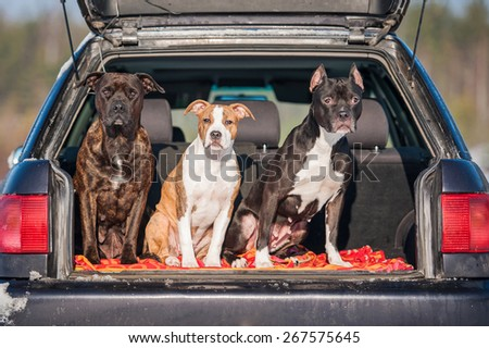 Three american staffordshire terrier dogs sitting in a car #267575645