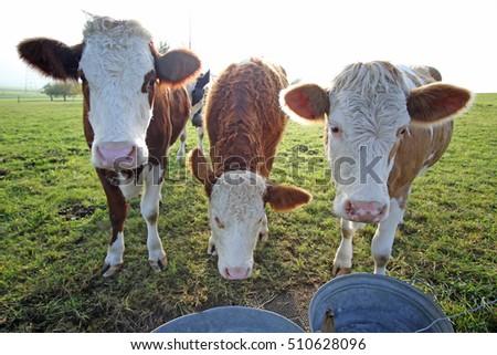 Shutterstock Three Amigos. Three cows in northwestern Switzerland, look for a snack.