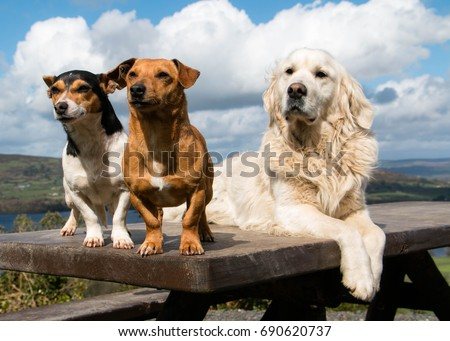 Shutterstock Three Amigos - Three dogs on a picnic bench gazing at something that caught their eye