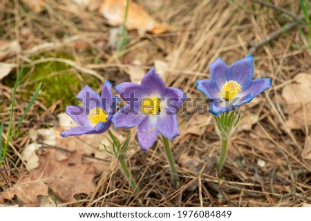 Three Anemone patens flowers in the pine forest. Faded flowers of Pulsatilla patens with some ants on them Stok fotoğraf ©