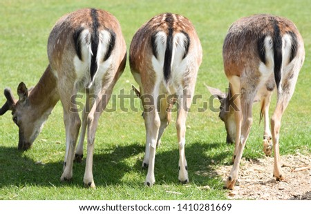 Three animal bottoms. A trio of fallow deer. Funny animal pictures