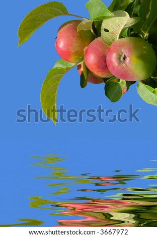 three apples on an apple tree on a sunny summerday with clear blue sky background and water reflection