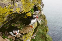 Three Atlantic puffins. Sea birds standing on a cliff in nature on the Latrabjarg cliffs in West Fjords, Iceland.