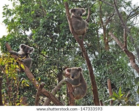 Three Australian koala bears on eucalyptus or gum tree. Sydney, NSW, Australia. exotic iconic Aussie mammal animal