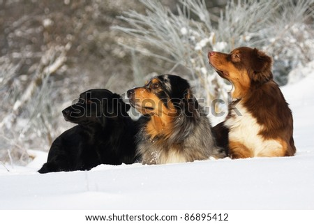 three Australian Shepherd dogs sitting in the snow and looking in one direction