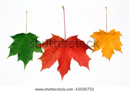 Three autumn leaves on a white background