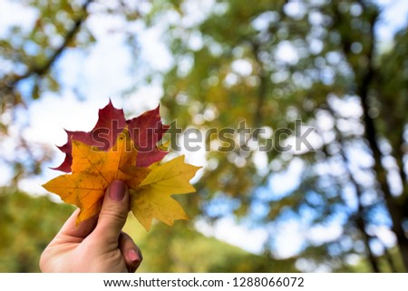 three autumn maple leaves yellow, orange and red in the hand of the girl on the background of the autumn forest. autumn composition #1288066072