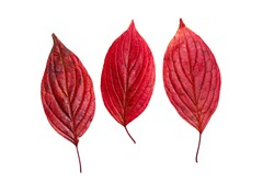 Three autumn red leaves isolated on white background