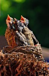 Three baby birds in a nest