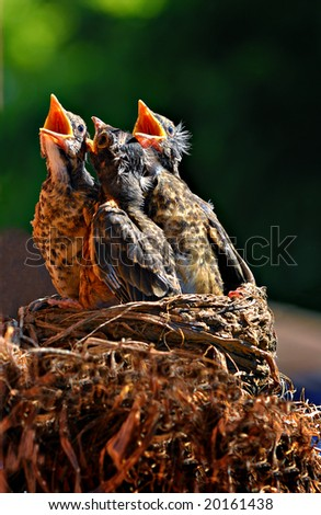 Three baby birds in a nest