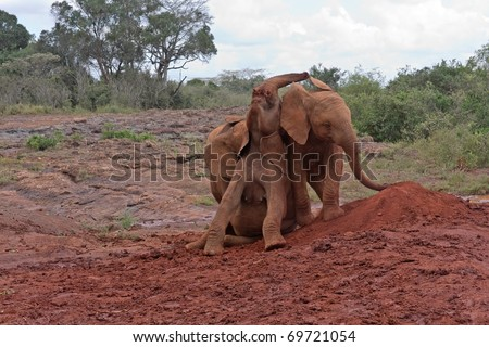 Three baby elephants play each other on red clay heap with trees and bushes in background. Sheldrick Elephant Orphanage in Nairobi, Kenya.