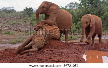 Three baby elephants play each other on the clay heap near the muddy pool with trees and bushes in background. Sheldrick Elephant Orphanage in Nairobi, Kenya.
