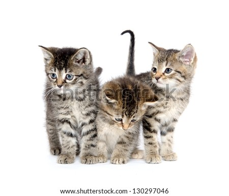 Three baby tabby kittens standing on white background