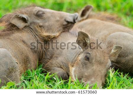 Three baby warthogs sleeping in grass