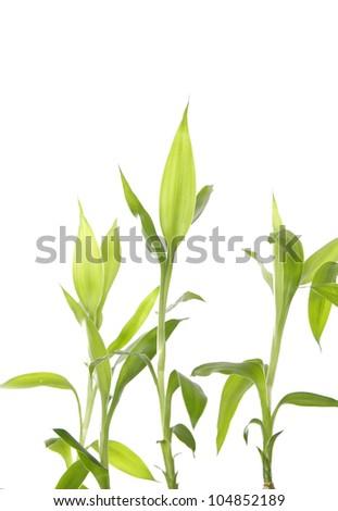 Three bamboo isolated - stock photo