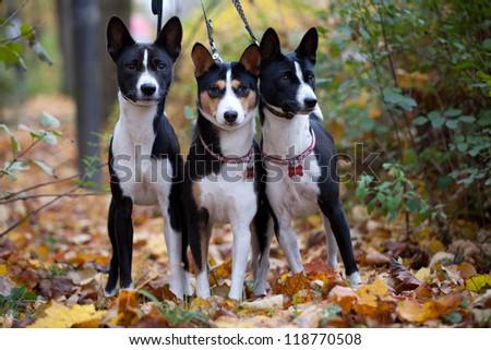 Three Basenji dogs in autumn park