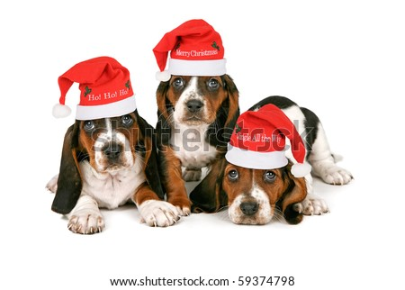 Three Basset Hound puppies wearing Santa hats with different holiday phrases on them. Isolated on white.