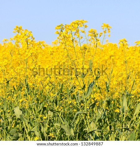 Three beautiful bands of horizontal colour including sky blue, yellow and green in square format. Taken in a field of Rapeseed in flower in the Cotswolds, rural Gloucestershire England.