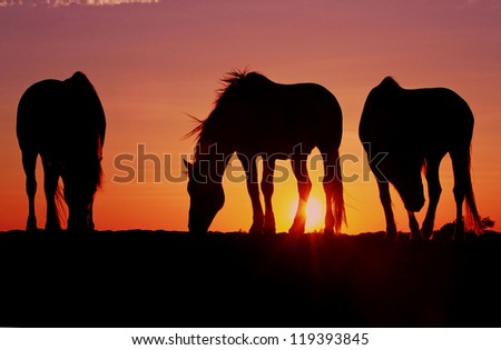 Three beautiful camargue horses peacefully silhouetted in early morning light