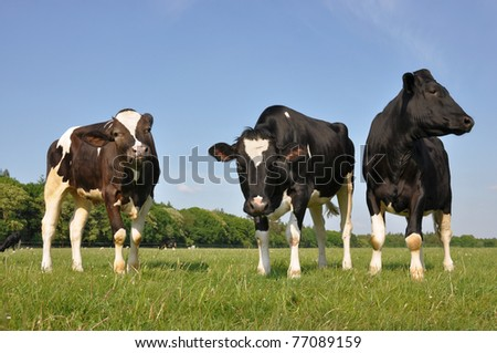Three beautiful curious young cows in a meadow