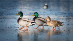 Three beautiful ducks are on the ice