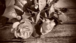 Three beautiful fresh roses on a wooden table. Congratulation postcard. Sepia and brown tone with dark vignetting around the edges