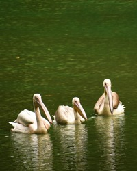 Three beautiful geese and storks are swimming on the water of a lake in Assam, India. Those are very large long legged and necked white waterbirds with long stout bills of several waterfowl species.