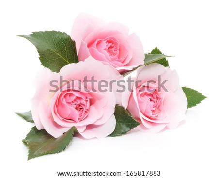 Three beautiful pink roses on a white background