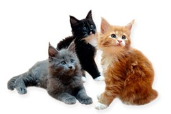 Three beautiful purebred Maine Coon kittens isolated on a white background.
