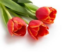three beautiful tulips, isolated on white background